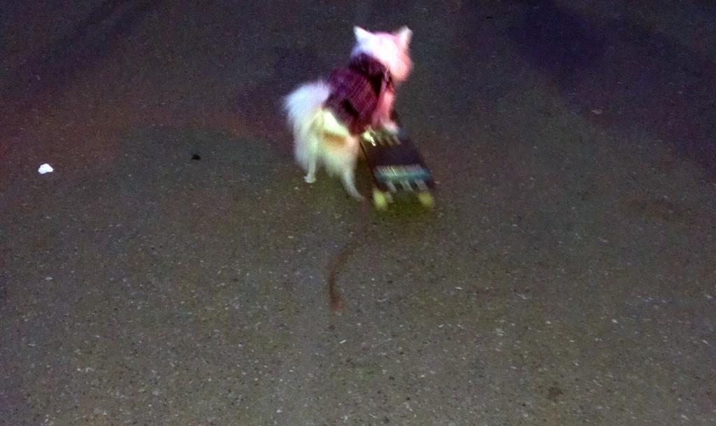 Cultural sight-skateboarding-dog