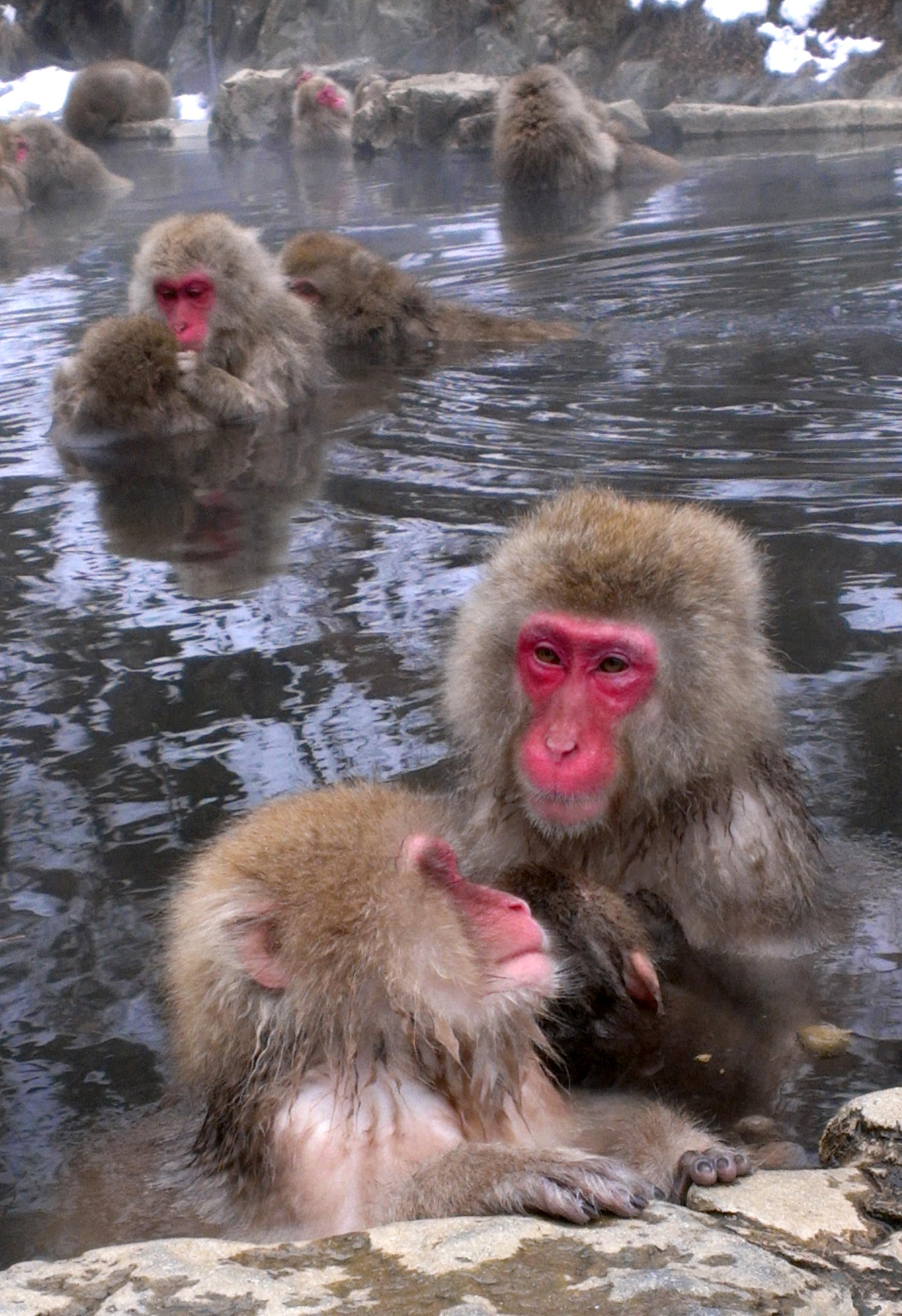 Snow-Monkeys-5