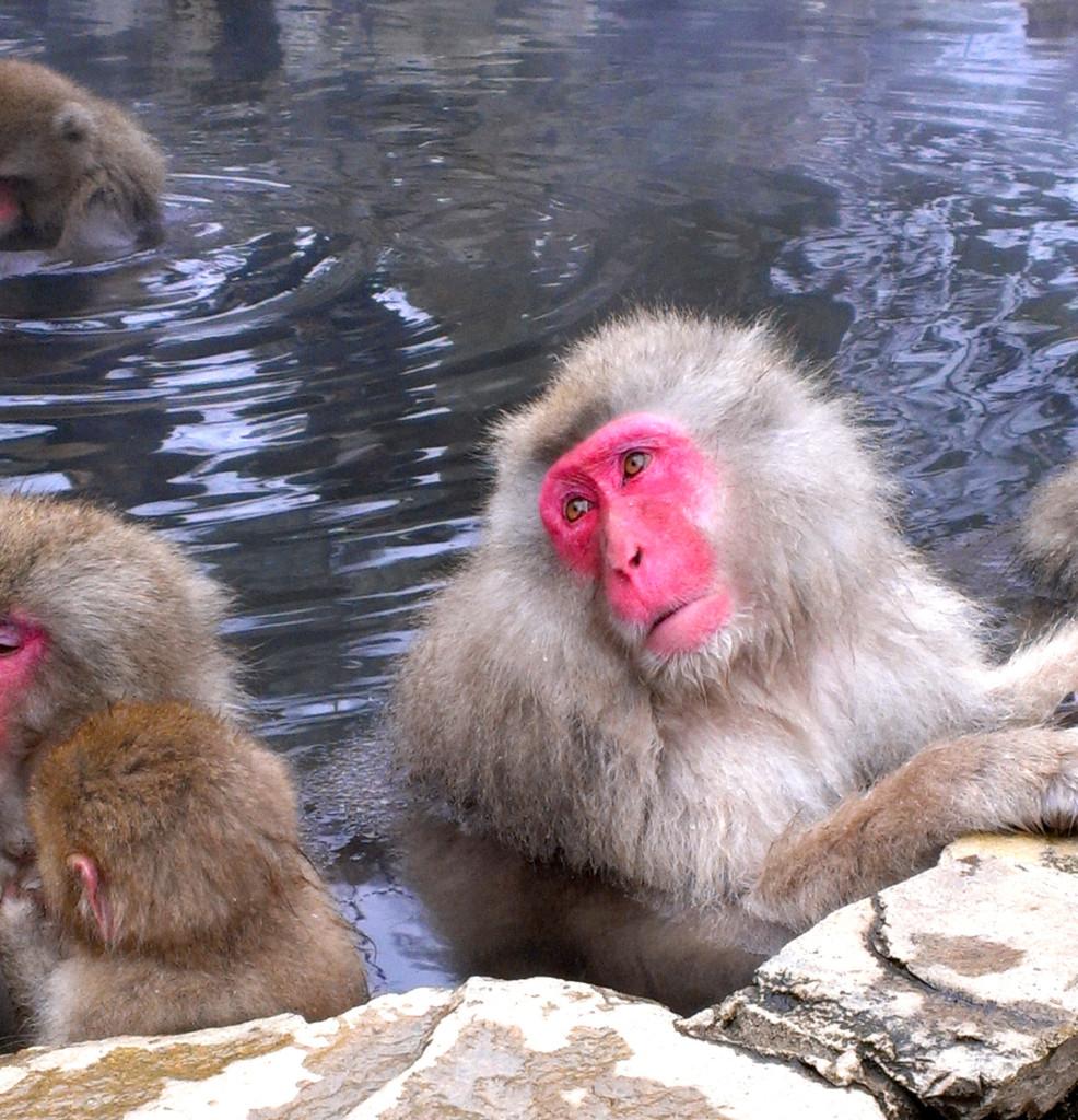 Snow-Monkeys-6