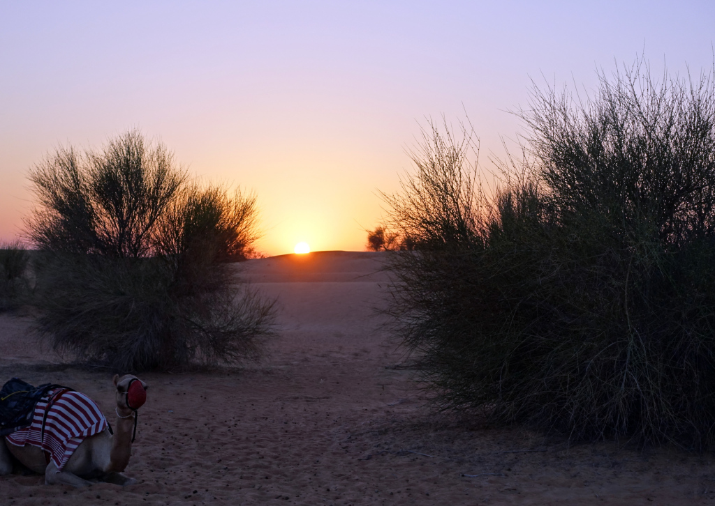 Al-Maha-camel-and-sunset