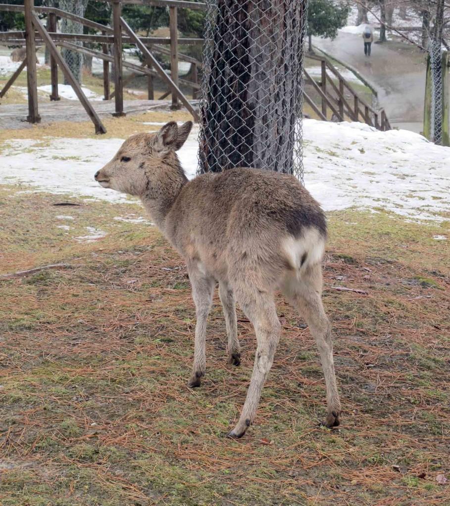Nara-deer