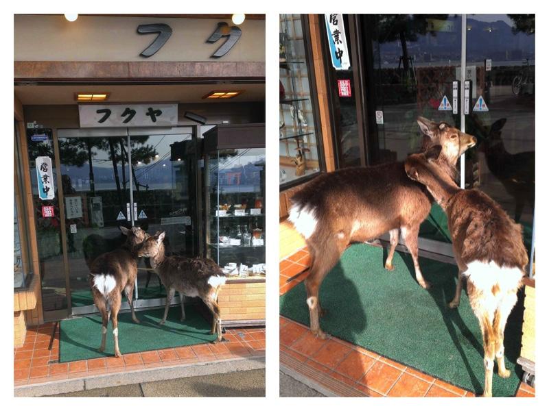 Miyajima-nuzzling deer