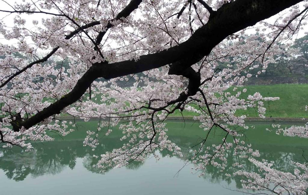 Hanami-chidoriga-fuchi(1)