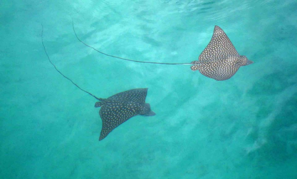 Colombia-Providencia-stingray